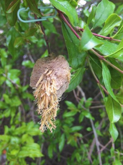Praying Mantis 2 Egg Pod